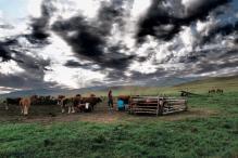 Milking time - Terelj National Park