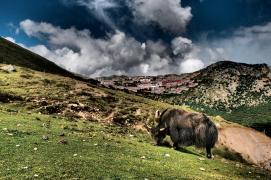 Yak in front of Ganden Monastery